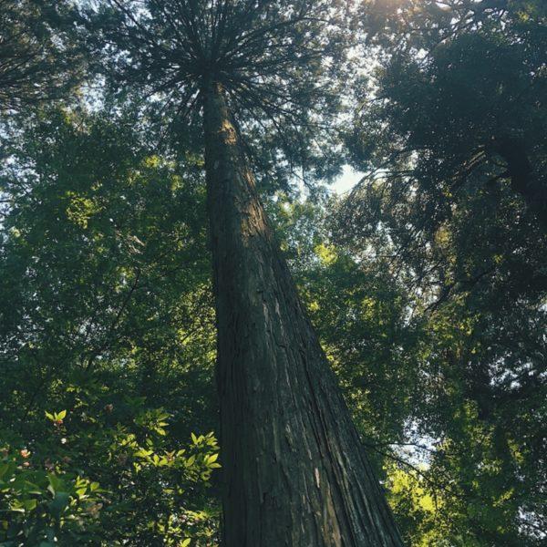 清々しい杉